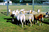 Katahdin Sheep at Fairmeadowsheepfarm.com, Sheep Breeders