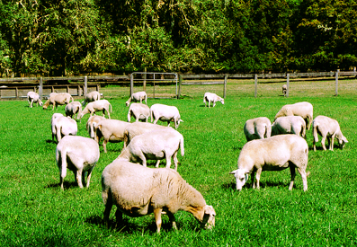 Fair Meadow Sheep Farm  Florida Native  Parasite Resistance Ocala, Fl   USA  (352) 732- 1184 Fairmeadowsheepfarm.com